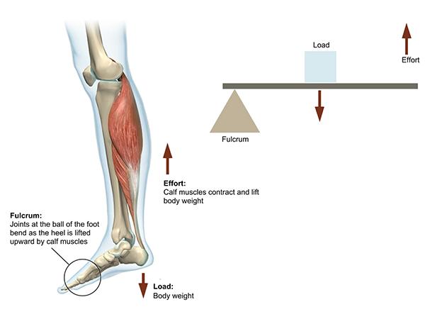 calf-second-class-lever-illustration