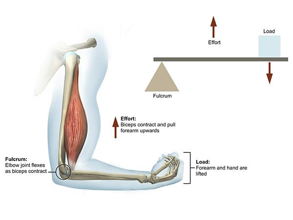 elbow-third-class-lever-illustration