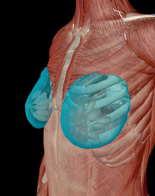 female-breast-lobes-fatty-tissue
