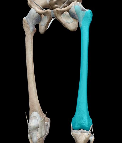 femur-bone-lower-leg