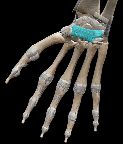 hand-ligament-flexor-retinaculum