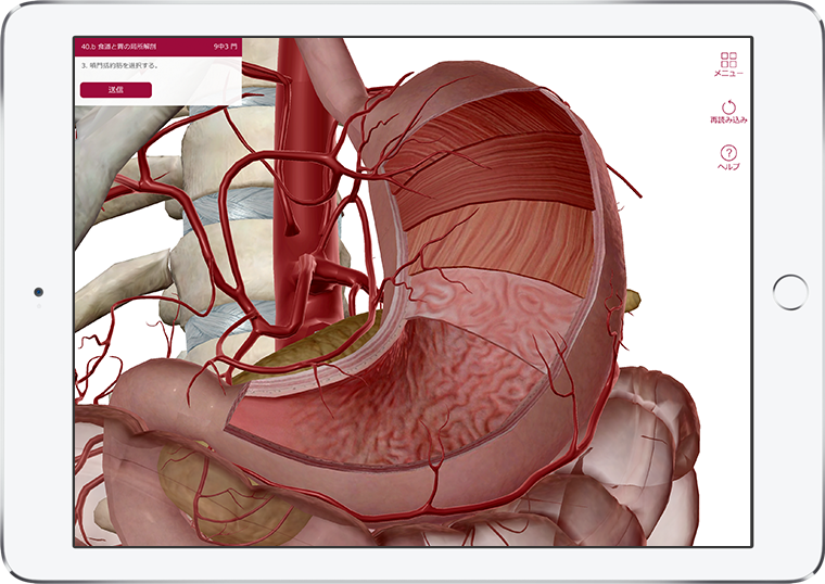 Visible Body's Anatomy & Physiology quiz question, Esophagus and Stomach cross-section