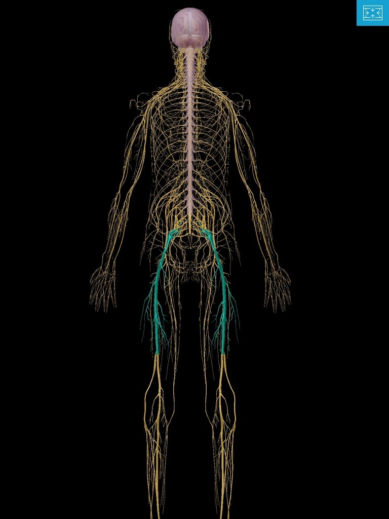 Nervous System with sciatic nerves highlighted