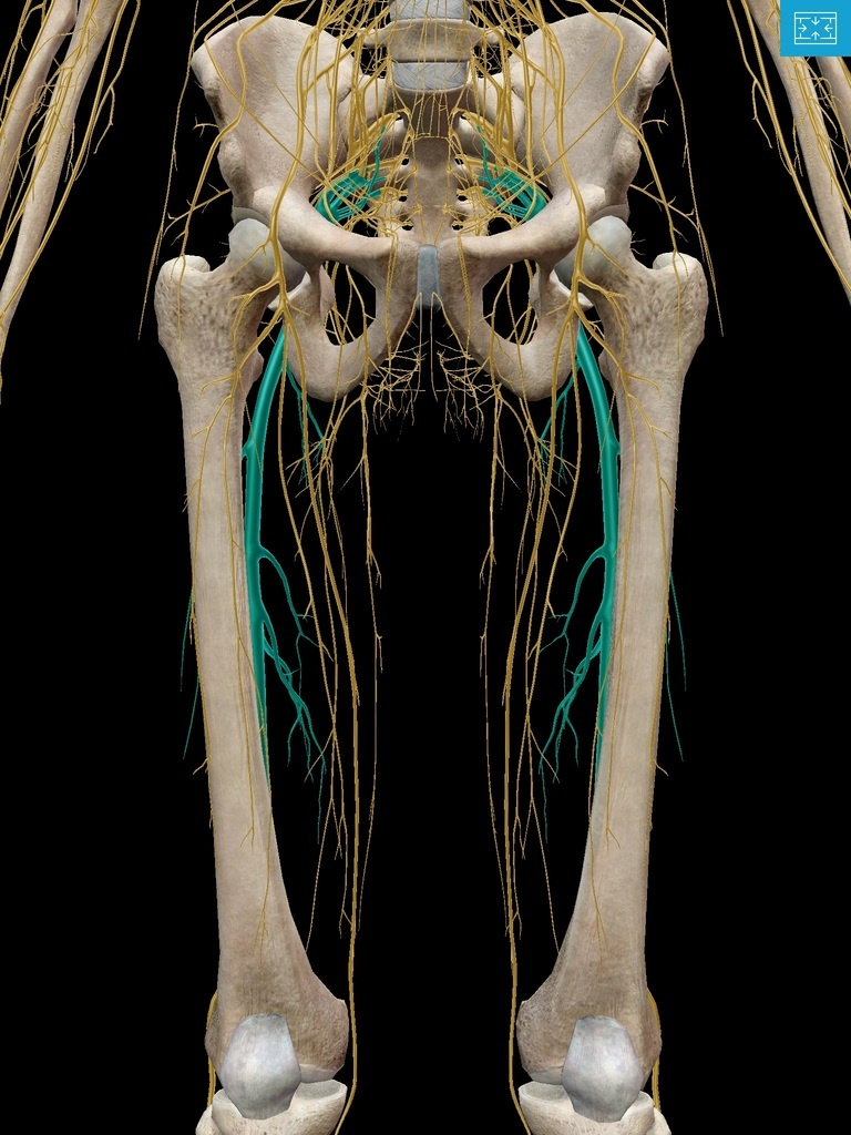 Sciatic nerves in context