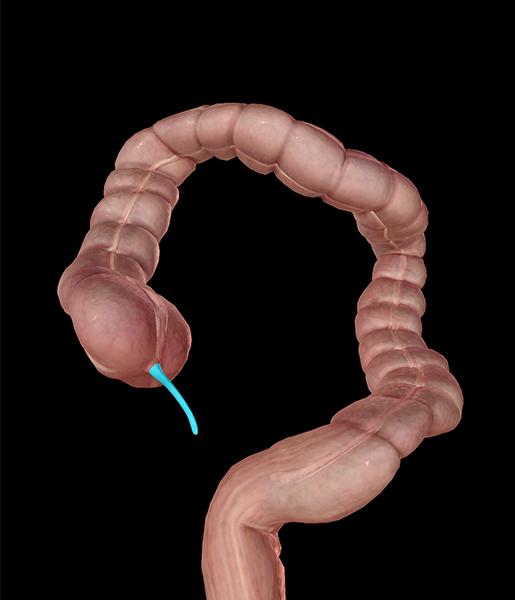 large-intestine-appendix