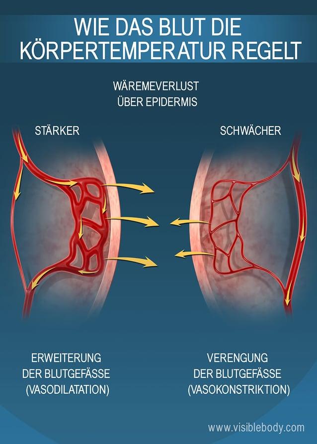 Die Größe der Kapillaren unter der Epidermis regelt die Wärmespeicherung des Körpers