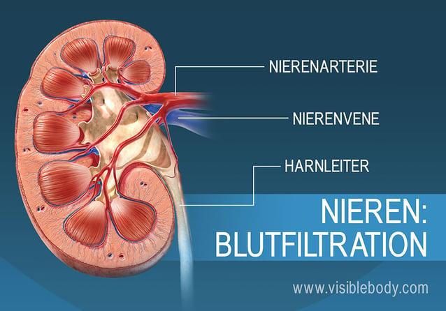 Die Filtrierung des Blutes in den Nieren