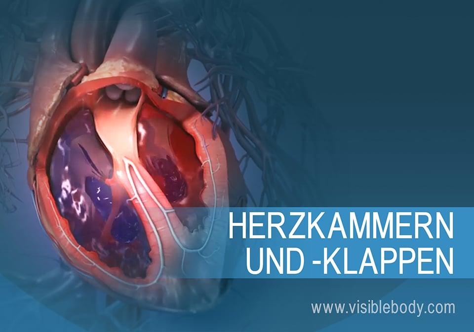 01A-Herzkammern-und-Herzklappen_1