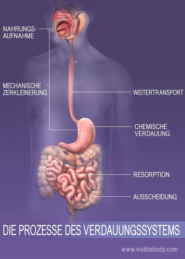 Nahrungsaufnahme, Verdauung, Resorption und Ausscheidung des Körpers