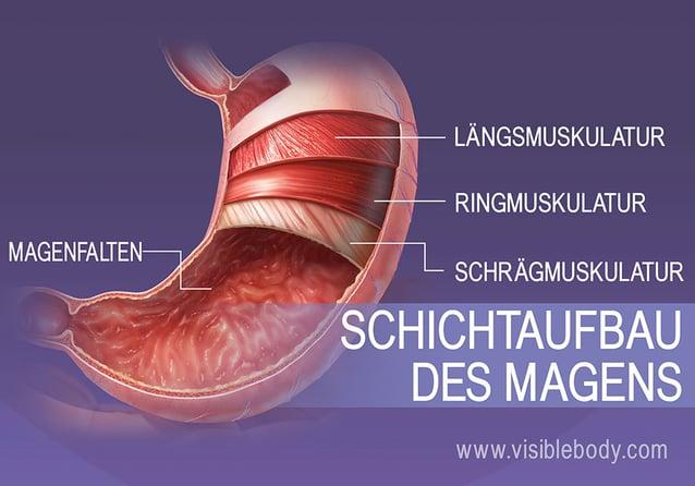 Die 4 Schichten glatter Muskulatur des Magens