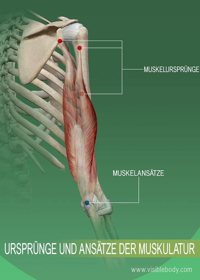 Ursprung und Ansatz eines Muskels am Knochen
