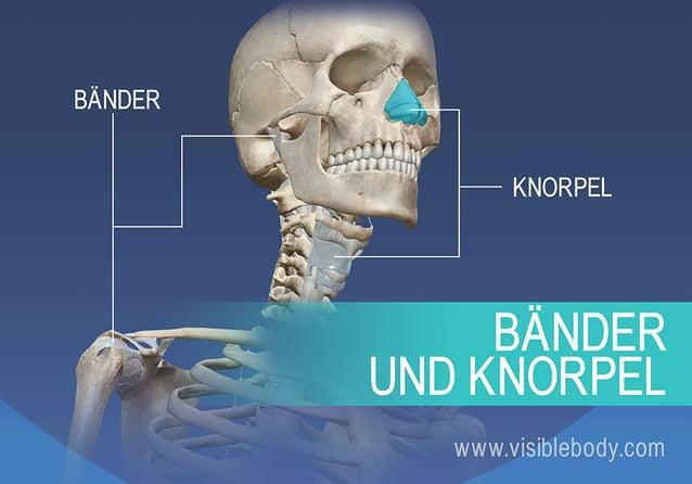 Bänder und Knorpel des menschlichen Körpers