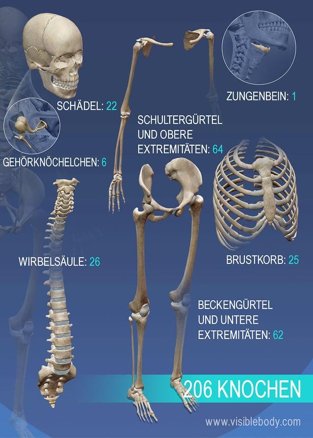 Überblick über die unterschiedlichen Knochenarten