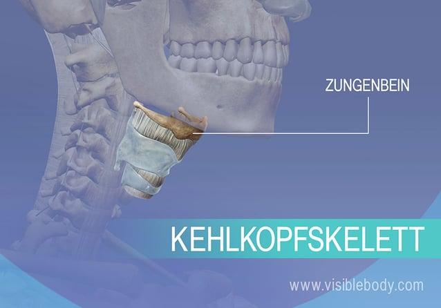 Zungenbein und Kehlkopf