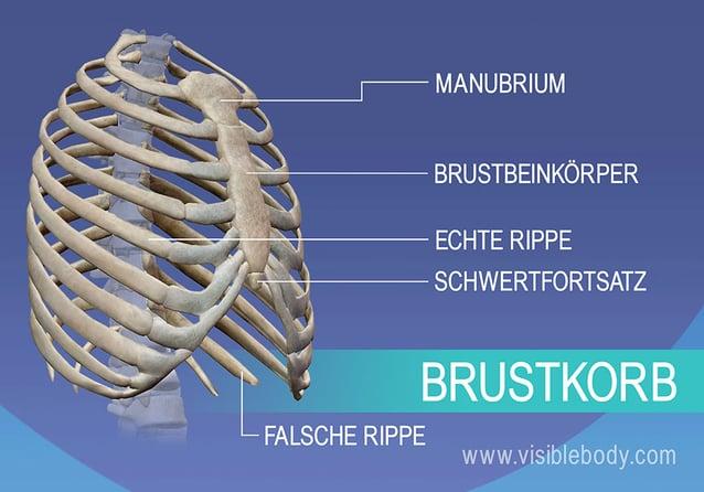 Manubrium, wahre und falsche Rippen, Brustbein und Schwertfortsatz des Brustkorbs