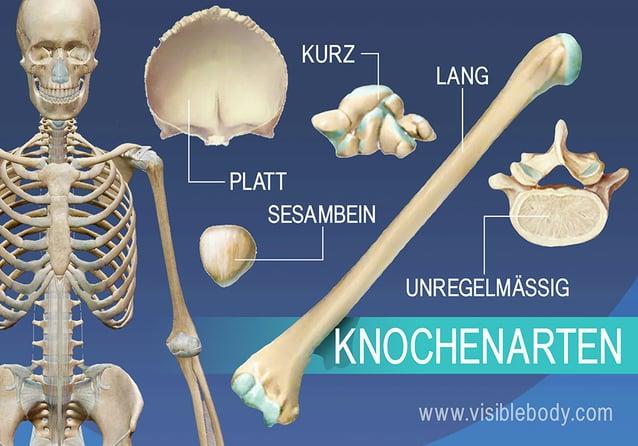 Überblick über die 5 unterschiedlichen Knochenarten - lang, kurz, platt, unregelmäßig und Sesambein