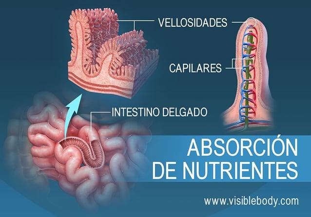 Corte transversal de las vellosidades en el intestino delgado