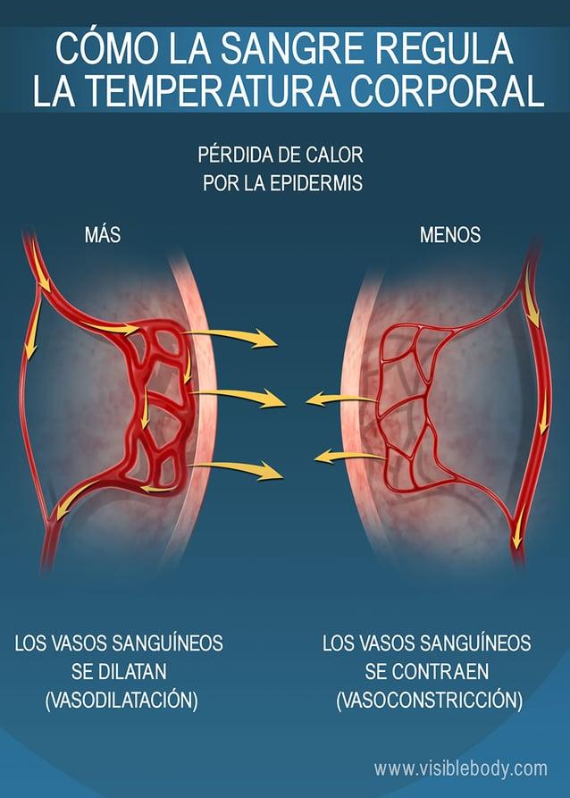 El tamaño de los capilares cercanos a la epidermis afecta la conservación de calor en el cuerpo humano