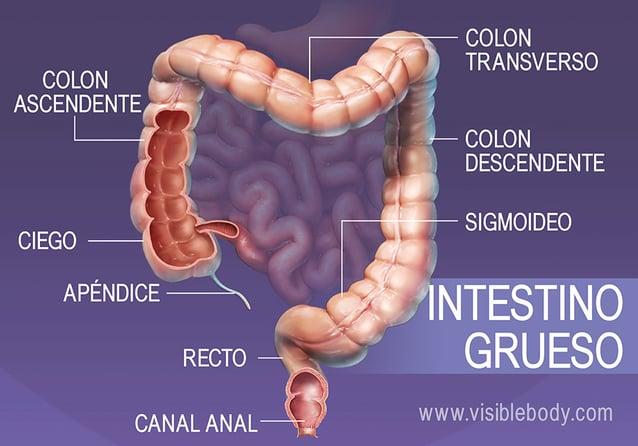 Secciones principales del intestino grueso