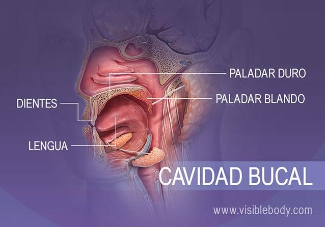 Vista de perfil de la cavidad bucal que muestra los dientes, la lengua, el paladar duro y el paladar blando
