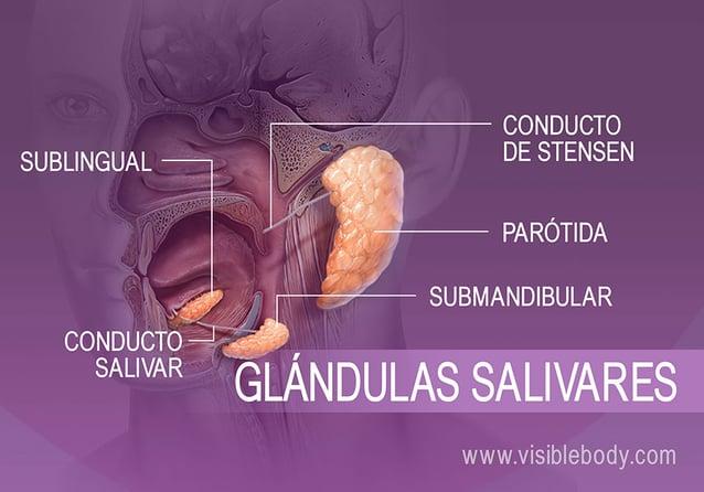 Ubicación de diferentes glándulas productoras de saliva en la boca