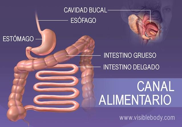 Estructuras del tubo digestivo