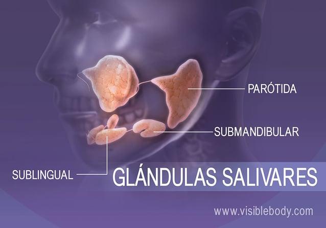 Glándulas salivares de la boca que contribuyen a la digestión