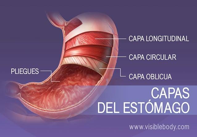 Las 4 capas de músculo liso del estómago