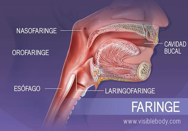 Estructuras de la faringe: nasofaringe, orofaringe y laringofaringe
