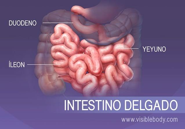 Las tres secciones del intestino delgado son el duodeno, el yeyuno y el íleon