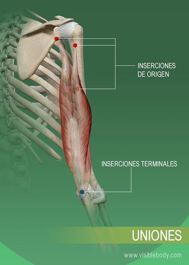 Inserciones de origen y terminales de un músculo en el hueso