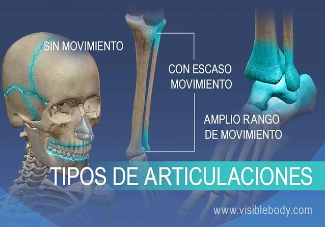Articulaciones sin movimiento, con escaso movimiento y articulaciones con un amplio rango de movimiento