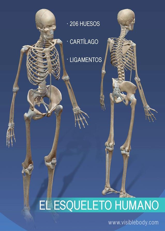 Esqueleto completo del cuerpo humano