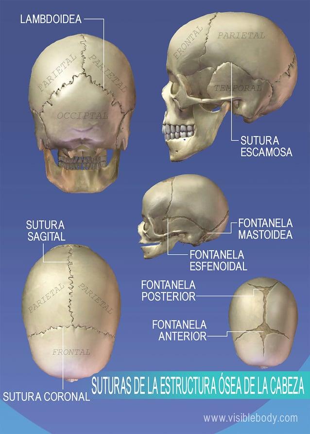 Suturas de la estructura ósea de la cabeza