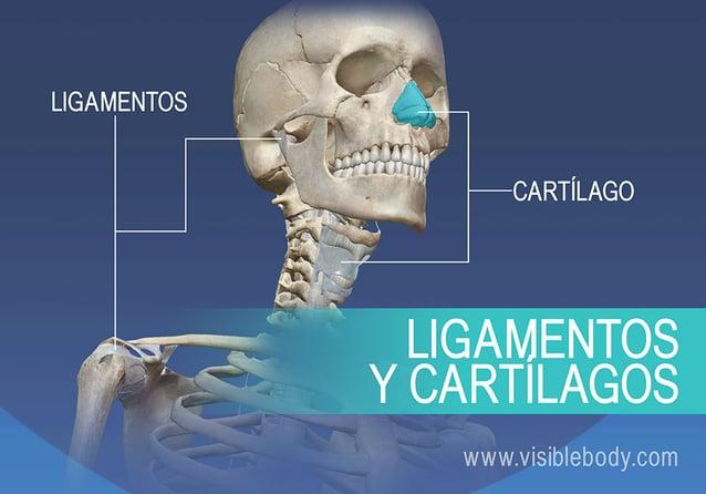 Ligamentos y cartílagos del cuerpo humano
