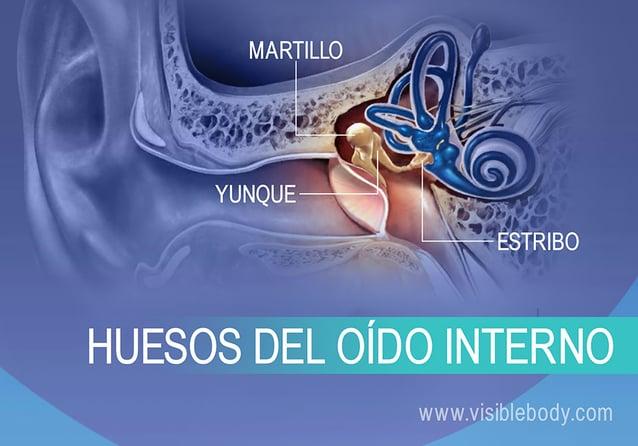 Huesos del oído interno, yunque, martillo y estribo