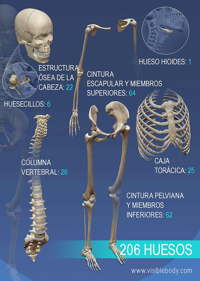 Reseña general de la variedad de huesos