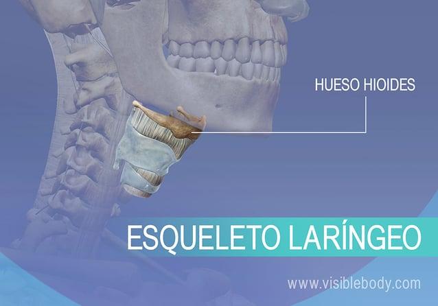Hueso hioides y laringe