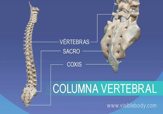 Vértebras, sacro y coxis en la columna vertebral