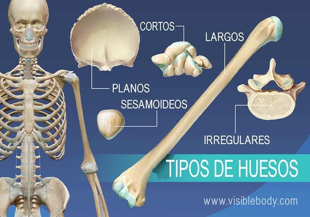 Reseña general de 5 tipos de huesos, largos, cortos, planos, irregulares y sesamoideos