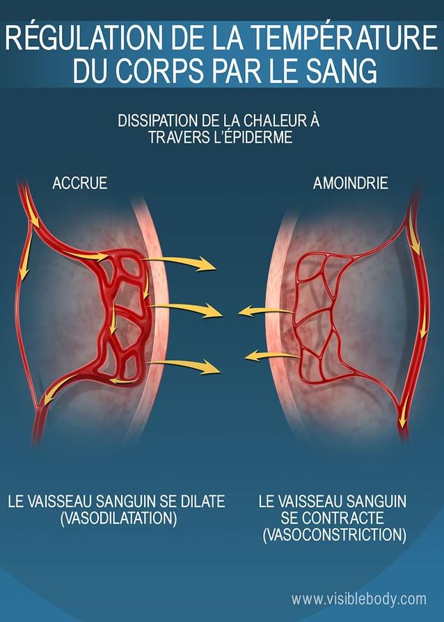 La taille des capillaires à proximité de l'épiderme joue un rôle sur la rétention de chaleur dans le corps humain