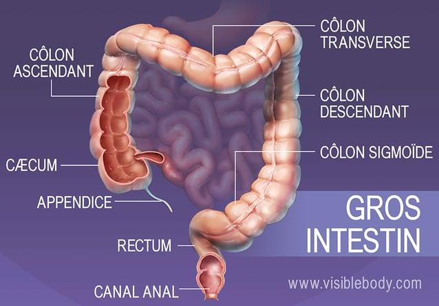 Principales sections du gros intestin