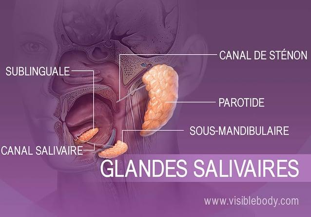 Emplacements des différentes glandes productrices de salive dans la bouche