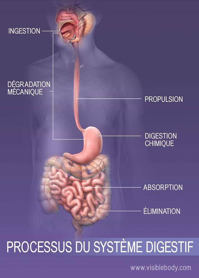 Ingestion, digestion, absorption et élimination dans le corps