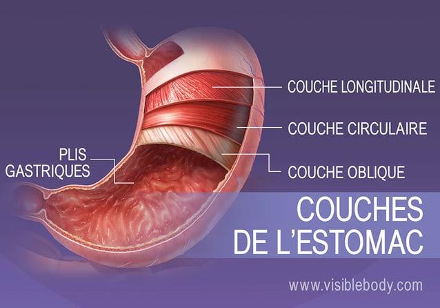 Les quatre couches de muscle lisse de l'estomac