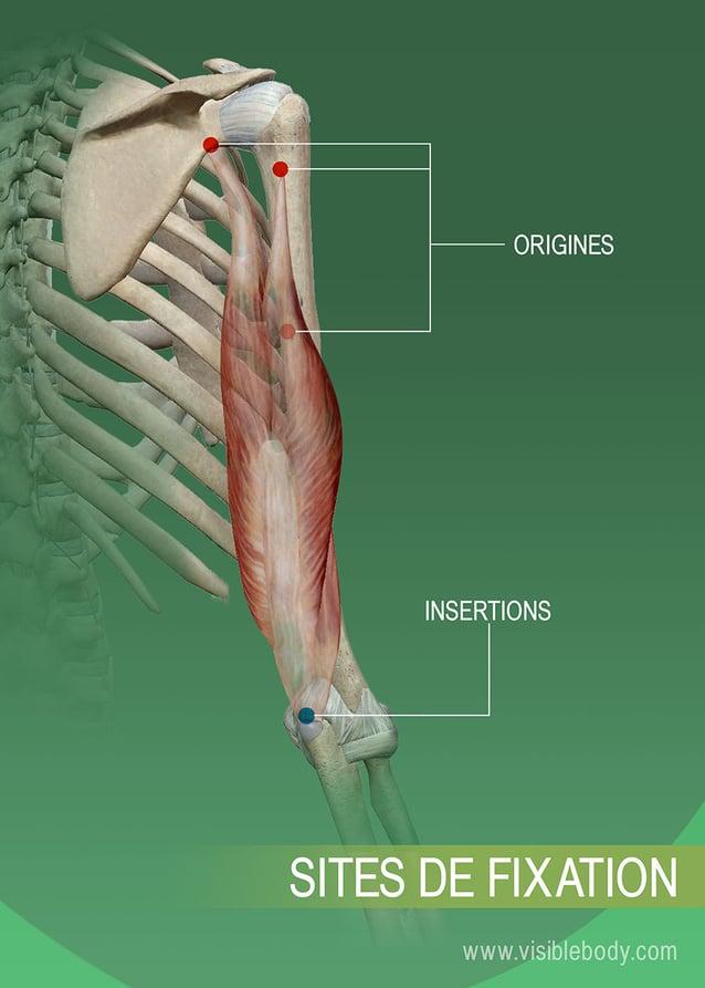 Origines et insertions d'un muscle sur l'os