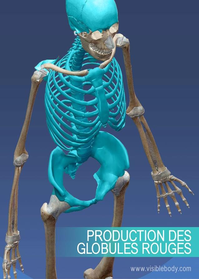 Production de globules rouges dans la région abdominale du squelette axial