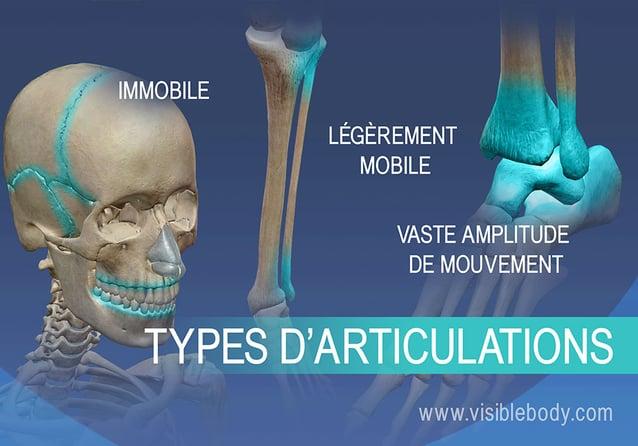 Articulations immobiles, articulations légèrement mobiles et articulations présentant une vaste amplitude de mouvement