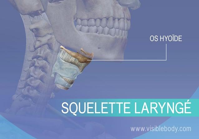 Os hyoïde et larynx