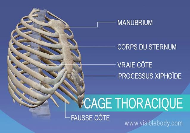Manubrium, vraies et fausses côtes, sternum et processus xiphoïde dans la cage thoracique